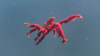Front crab – Orangutan crab spotted swimming - Video