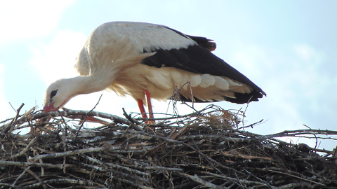 Stork in the Belorussian village