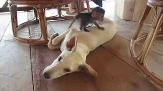 Orphaned Baby Monkey Plays With Dog Pal in Cambodia - Video