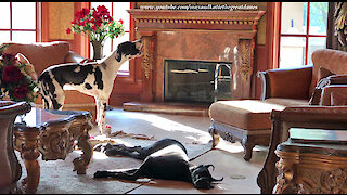 Great Dane Ignores Hilarious Howling Harlequin Brother Dog