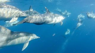 Pod of Dolphins Glides Along Sydney Coastline - Video