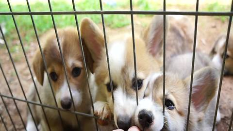 When corgi puppies attack, no finger is safe!