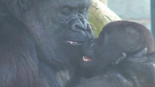 Gorilla mom preciously entertains her baby