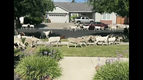 Man Unexpectedly Encounters Dozens of Goats Outside His California Home