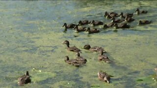 28 ducks released into the wild by the Wisconsin Humane Society