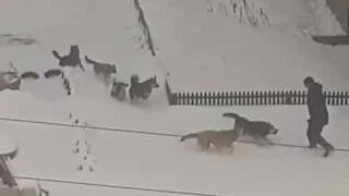 Man chased down street by 10 stray dogs