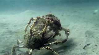 Two Spider Crabs Battle Under Water Near Melbourne - Video