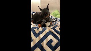 Cat knows there is no escaping this Doberman's love