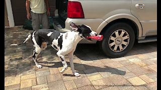 Great Dane puppy learns to carry treats into house