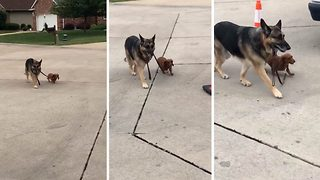 Adorable moment German Shepherd walks tiny Dachshund friend on lead