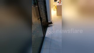 Dublin man frees fox trapped in his house - Video