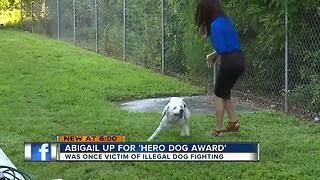 Rescue pit bull up for awards - Video