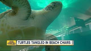 Newest threat to nesting sea turtles: beach chairs left out overnight - Video