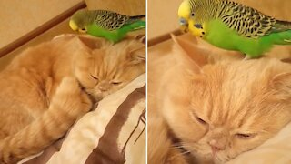 Sweet parrot and cat share precious friendship