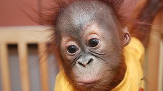 Cute New Born Orangutan - Video