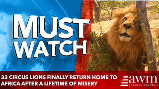 33 Circus Lions Finally Return Home To Africa After A Lifetime Of Misery - Video