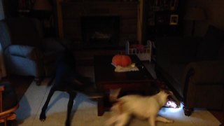 Funny Dog Chase Each Other Around A Coffee Table