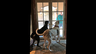 Great Danes go Wild and Crazy Greeting their Dad - Video
