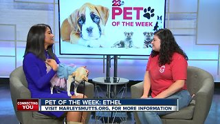 Pet of the Week: Ethel chihuahua mix - Video