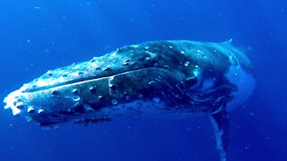 Playful humpback whales enjoy frolicking with swimmers in Tonga