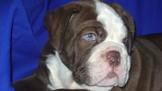 Rare chocolate colored English bulldog puppy