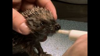 Saving Baby Hedgehogs - Video