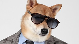 Menswear Dog, The Chic Shiba: Pet Pooch Models Designer Fashion - Video