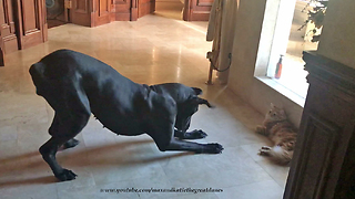 Great Dane throws hissy fit trying to play with cat - Video
