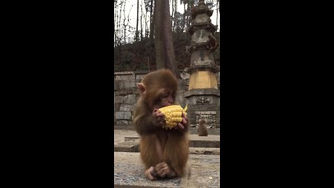 Adorable baby monkey defends food against bully