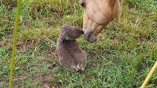 Stable Relationship! Koala And Horse Strike Up Unlikely Friendship On Aussie Farm