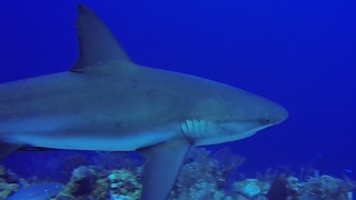 Divers dangerously encircled by aggressive sharks