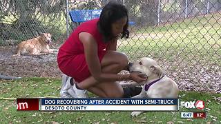 Local Dog Recovering from accident with Semi Truck - Video