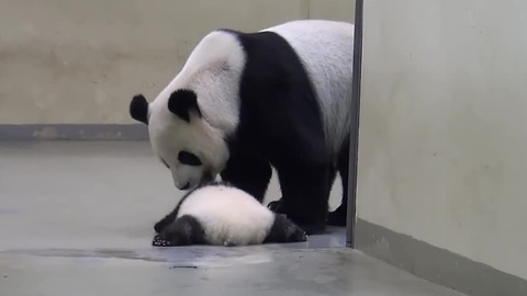 Giant Panda Mom Puts Baby Back To Bed