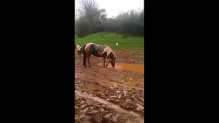 Silly horse loves to splash in the mud