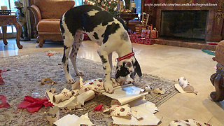 Why You Don't Leave a Great Dane Puppy Alone with Wrapping Paper