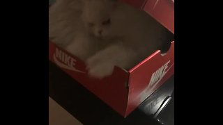 Greedy kitty hilariously defends her favorite box
