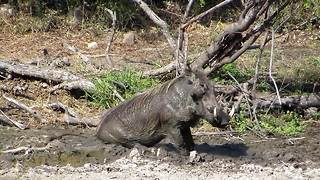 Warthog enjoys a bum scratch - Video
