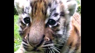 Tiger Quadruplets - Video