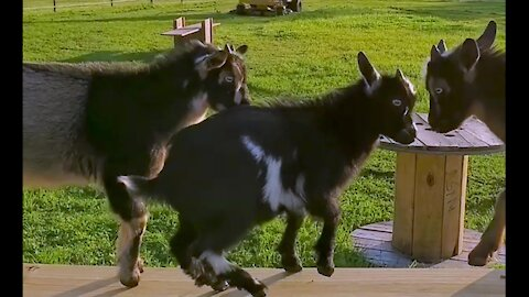 Baby goats get excited for their new parkour obstacle course