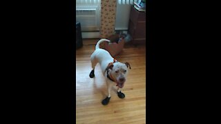 Pit bull in boots