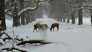 Stunning: stags lock antlers in UK snow - Video