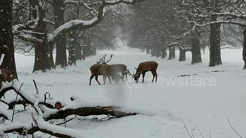 Stunning: stags lock antlers in UK snow