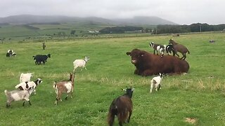 THOSE PESKY KIDS: NAUGHTY PYGMY GOATS CLIMB ALL OVER EXASPERATED BULL JUST TRYING TO REST