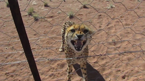 Rescued cheetah has an attitude