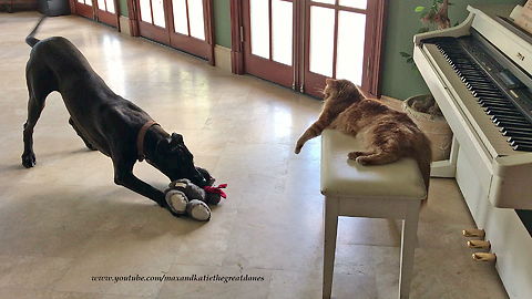 Great Dane shows off her toy to cat buddy