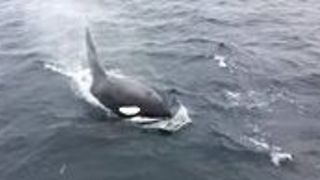 Breaching Killer Whales Delight Whale-Watching Tour in California - Video