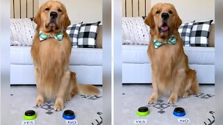 "Golden Retriever answers questions with ""yes"" & ""no"" buttons"