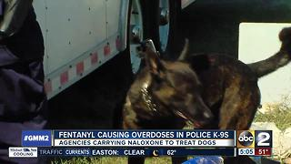 Fentanyl causing overdoses in K-9s - Video