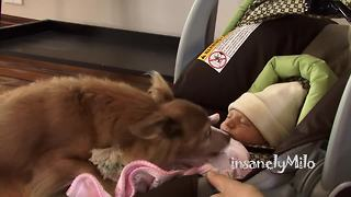 Milo the Chihuahua meets his baby sister