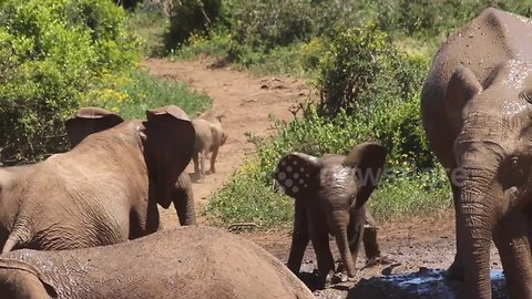 Baby elephant slips in mud trying to chase warthog